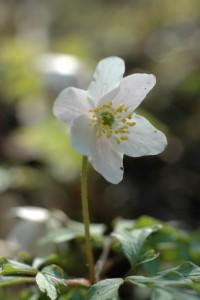 Holtnesdalen - et hvitveisparadis